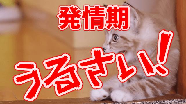 メス猫の発情期の鳴き声はうるさい…さかりを早く終わらせる方法とは?