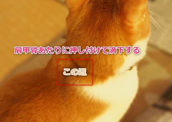 フロントラインプラスの使い方 猫の肩甲骨あたりに押し付けて投与する