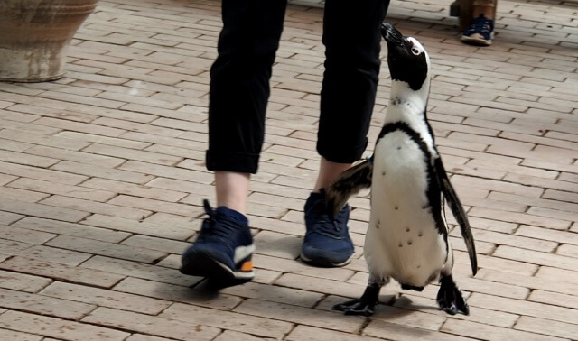 富士花鳥園 バードショー ケープペンギン しずくちゃん