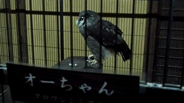 富士花鳥園 ふくろう展示室 ケージ越し