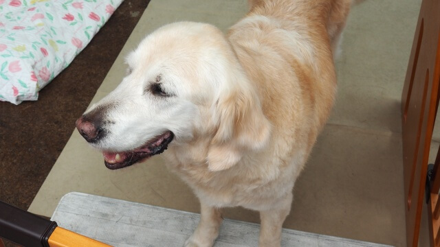 盲導犬の里 富士ハーネス 引退犬 見学